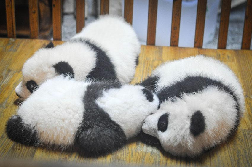 パンダの赤ちゃん誕生